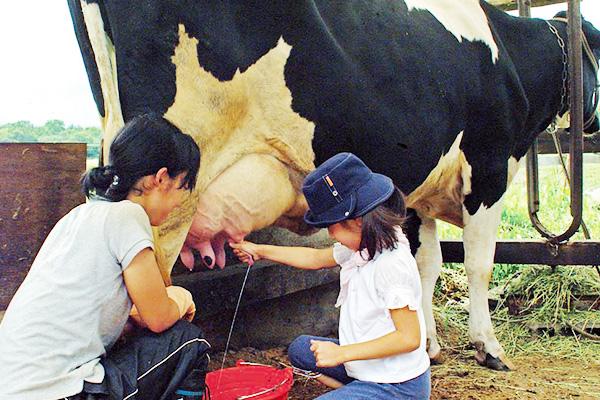 牛の牛乳搾り体験